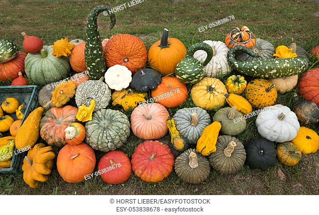 Various ornamental gourds and pumpkins, Baden Wuerttemberg, Germany