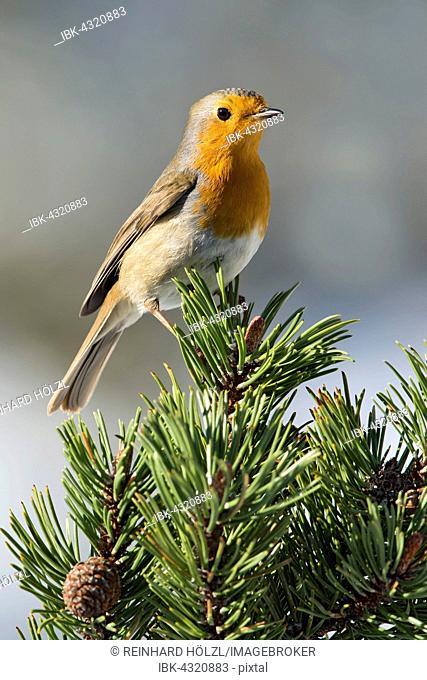 Robin (Erithacus rubecula) on pine, Tyrol, Austria