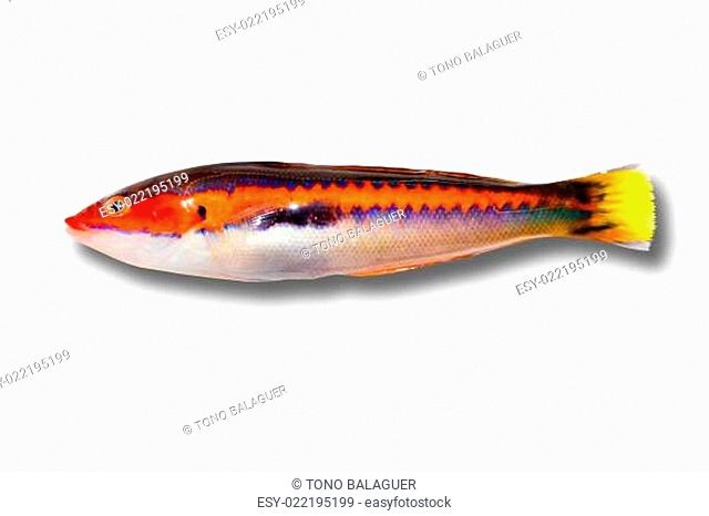 coris julis fish Rainbow Wrasse from Mediterranean