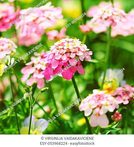 Iberis amara flower. Also called rocket candytuft, bitter candytuft or wild candytuft flower