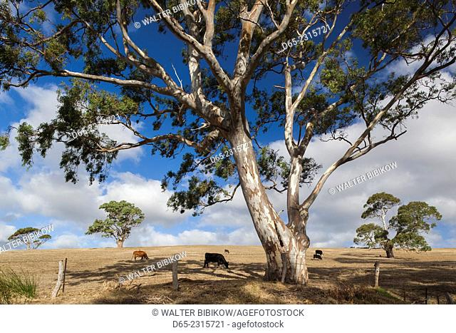 Australia, South Australia, Fleurieu Peninsula, Normanville, landscape with trees, fields and cows