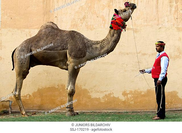 Dromedary Camel (Camelus dromedarius). The male Gajraj is richly decorated with patterns clipped into its fur. As a dancing camel he appears during at all kind...