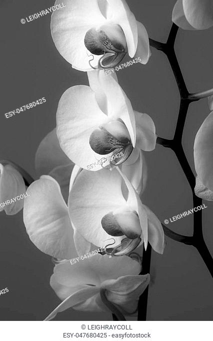 Orchids, a diverse and widespread family of flowering plants
