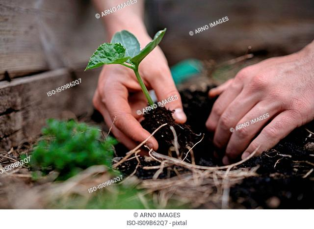 Man planting seedlings in soil