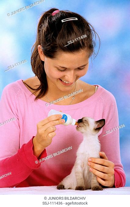 young Siamese cat getting food with the bottle
