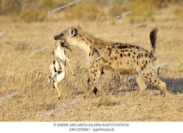 Spotted Hyena (Crocuta crocuta) with killed Thomson's Gazelle