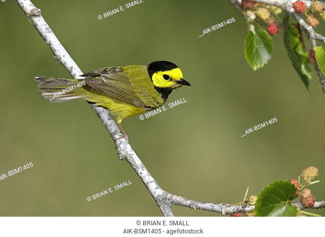 Adult male Hooded Warbler Galveston Co., Texas