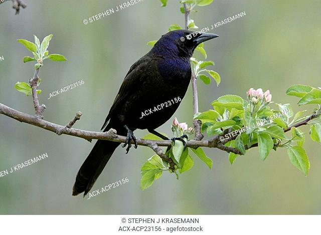 Common Grackle Quiscalus quiscula perched on apple tree branch, Ontario, Canada