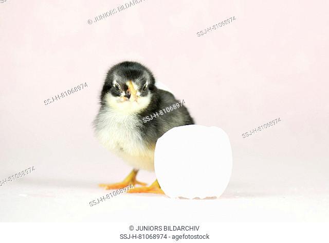 Domestic chicken, Vorwerk chicken x Leghorn chicken. Chick (1 day old) standing next to egg shell. Studio picture. Germany