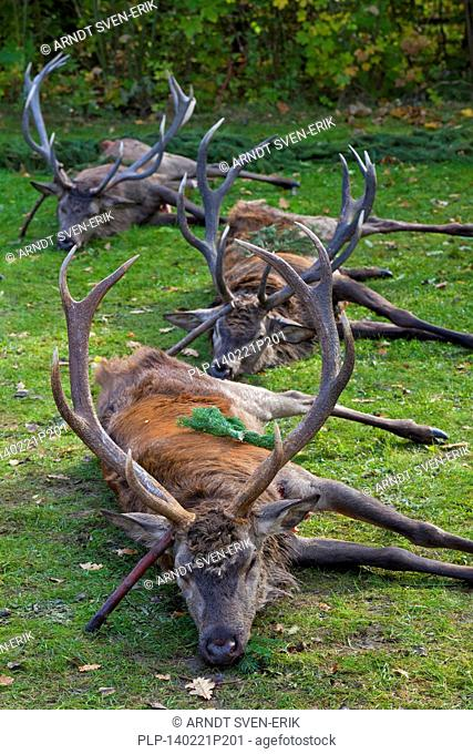 Shot Red Deer (Cervus elaphus) stags gutted by hunters after the hunt during the hunting season in autumn