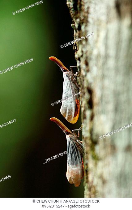 Lantern bug Pyrops sultana, gunung gading national park, lundu, sarawak, Malaysia