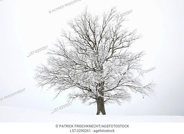 oak tree covered in snow, Switzerland