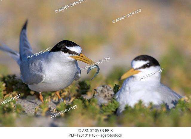Little tern (Sternula albifrons / Sterna albifrons) feeding sandeel fish to chicks on nest in the dunes in late spring / summer