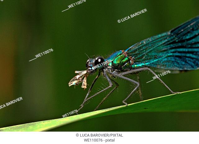 Calopteryx splendens eating another insect