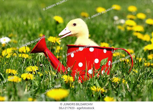 Mulard Duck. Duckling in a red watering can with white polka dots, in a flowering meadow while quacking. Germany