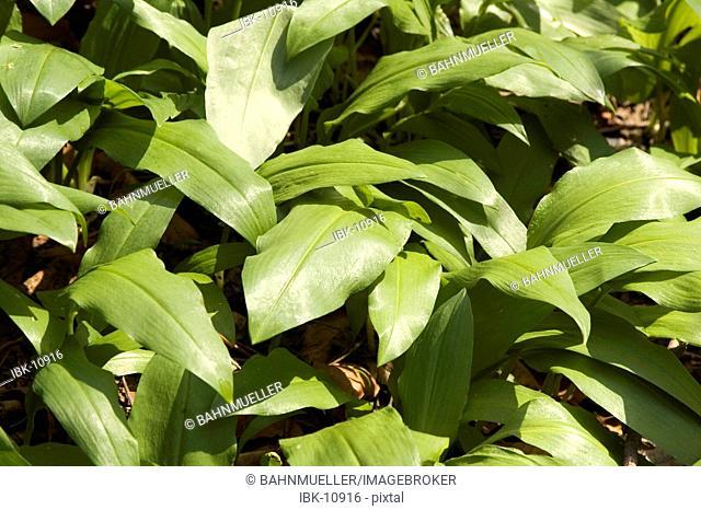 Ramsons in spring forest allium ursinum