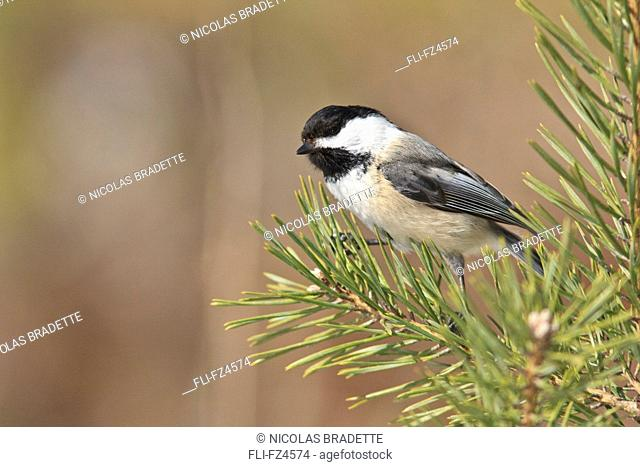 Black-capped Chickadee, outdoor base of St-Foy, Quebec