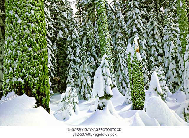 Snow covered trees in Yosemite Valley, California