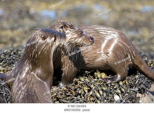 Pair of Eurasian river otters Lutra lutra foraging in and among the seaweed Otters on Scotland's west coast and islands have adapted well to making a living in...