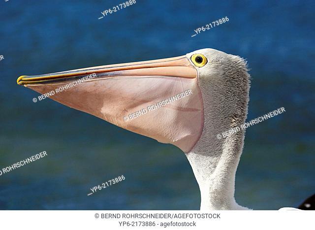 portrait of Australian Pelican (Pelecanus conspicillatus) with filled bill, Kangaroo Island, South Australia, Australia