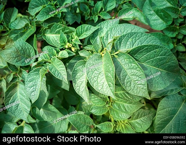 Young, blooming with small buds, potato plants grow in the field. Presented in close-up