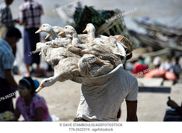 Carrying ducks to market in Yangon, Myanmar