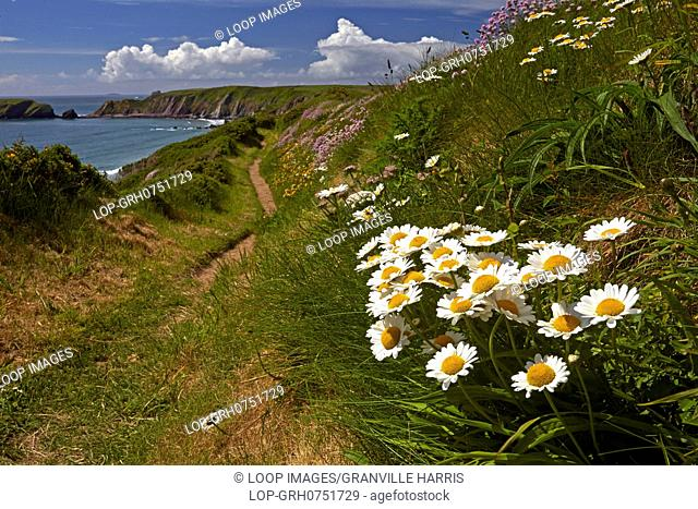 Wild spring flowers growing beside the Pembrokeshire Coastal Path above Marloes