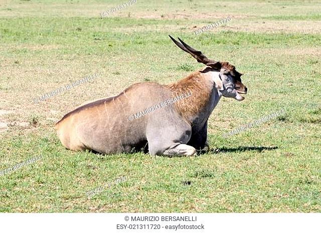 Common Eland (Tragelaphus or Taurotragus oryx)