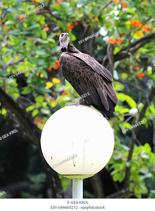 Hooded vulture (Necrosyrtes monachus) in Gambia, selective focus