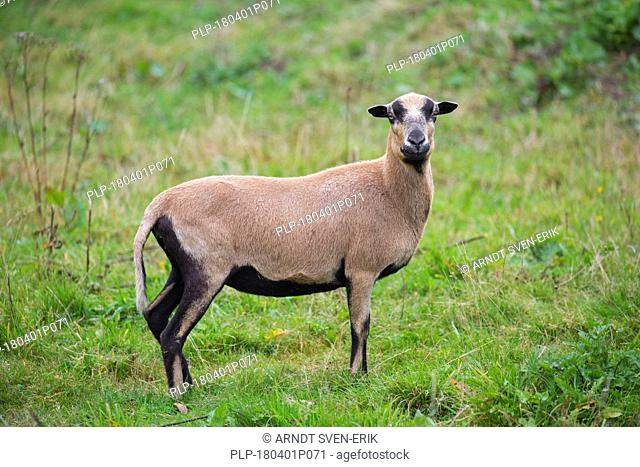 Cameroon sheep ewe, domesticated breed of sheep from West Africa in meadow