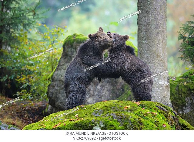 Brown Bear, Ursus arctos, Two cubs fighting, Bavaria, Germany