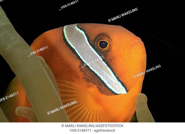 Male Tomato anemonefish, Amphprion frenatus, Puerto Galera, Oriental Mindoro, Philippines, Pacific