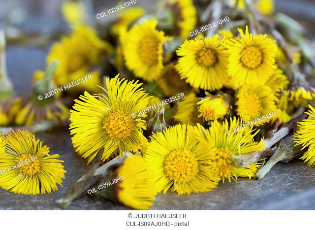 Close up of coltsfoot (tussilago farfara) stems and flowers. Used in herbal medicine and food
