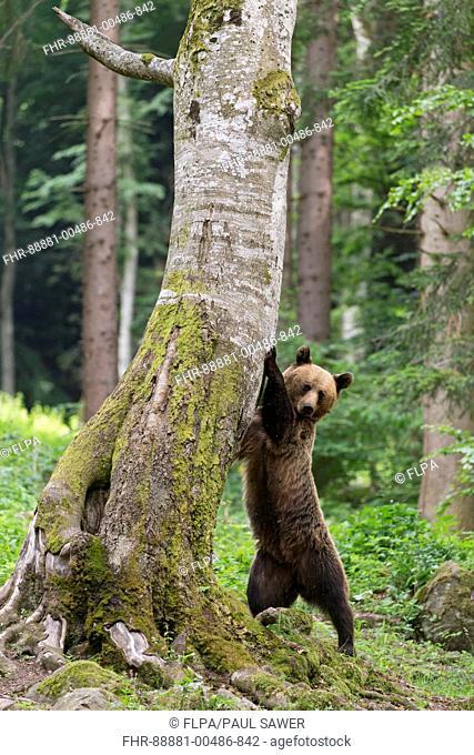 European Brown Bear (Ursus arctos arctos) adult, standing, scratching claws against tree, Transylvania, Romania, June