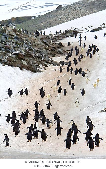 Chinstrap penguin Pygoscelis antarctica colony at Baily Head on Deception Island, South Shetland Island Group, Antarctica  MORE INFO There are an estimated 2...