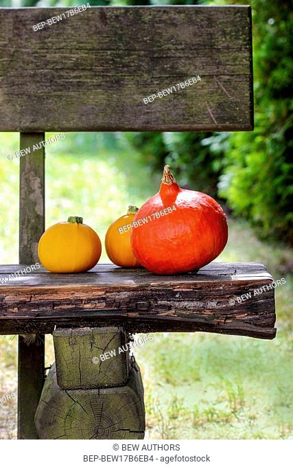 Colorful pumpkins on wooden bench in the garden