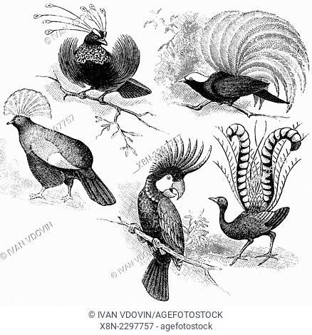Bird-of-paradise, Goura victoria (Victoria Crowned Pigeon), Major Mitchell's Cockatoo (Lophochroa leadbeateri), Superb Lyrebird (Menura novaehollandiae)