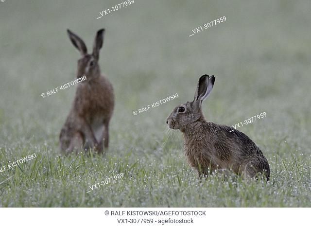 Brown Hare / European Hares / Feldhase ( Lepus europaeus ) sitting together on a dew wet field, at twilight, early in the morning