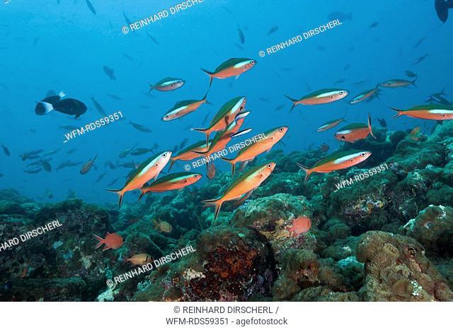 Neon Fusilier, Pterocaesio tile, Fishhead, North Ari Atoll, Maldives