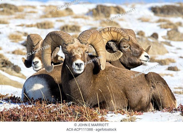 Bighorn sheep rams in Jasper National Park, Alberta, Canada