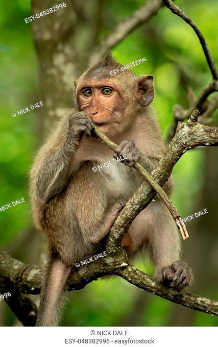 Baby long-tailed macaque on branch holding twig