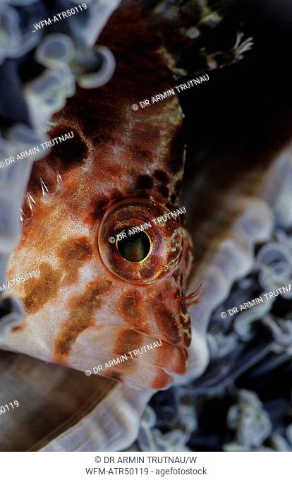 Small Hawkfish, Cirrhitichthys falco, Indo Pacific Celebes Sea Sulawesi Manado, Indonesia