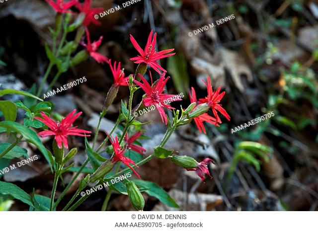 Fire Pink (Silene virginica) Great Smoky Mountains National Park