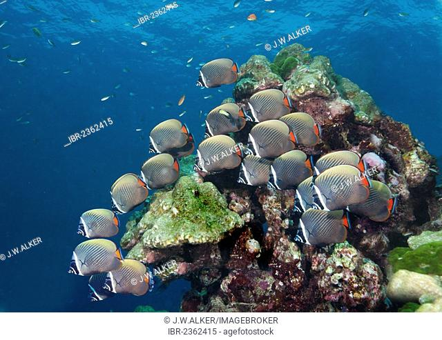 Redtail butterflyfish (Chaetodon collare), Gulf of Thailand, Thailand, Asia