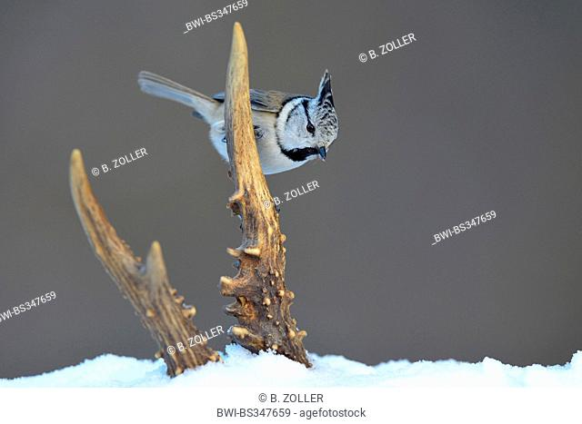 crested tit (Parus cristatus, Lophophanes cristatus), sitting in winter on a horn from a roe deer, Germany, Baden-Wuerttemberg