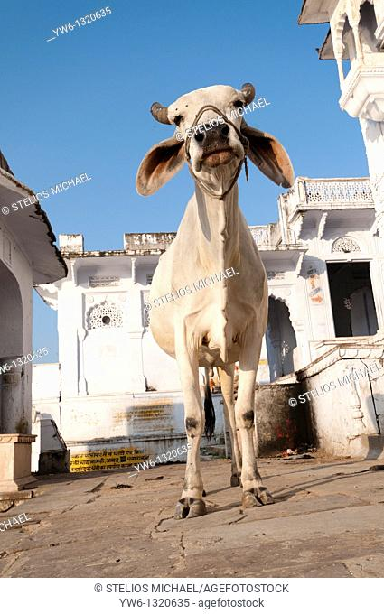 Holy Cow in Pushkar
