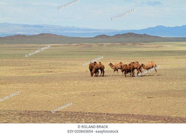 Kamele in der Wüste Gobi Mongolei