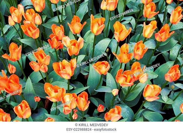 Red and white Tulips in Keukenhof Flower Garden, The Netherlands