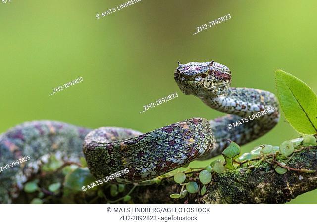 Eyelash viper, Bothriechis schlegelii lying in a tree looking at the camera at Laguna del lagarto, Boca Tapada, San Carlos, Costa Rica