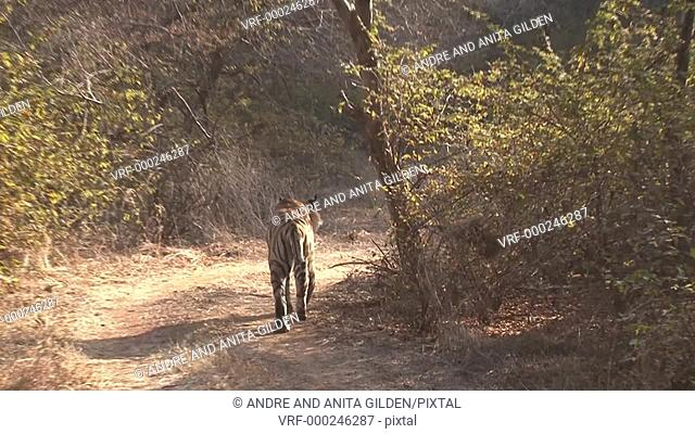 Bengal Tiger (Panthera tigris tigris) scent marking on a tree in Ranthambhore N.P. India